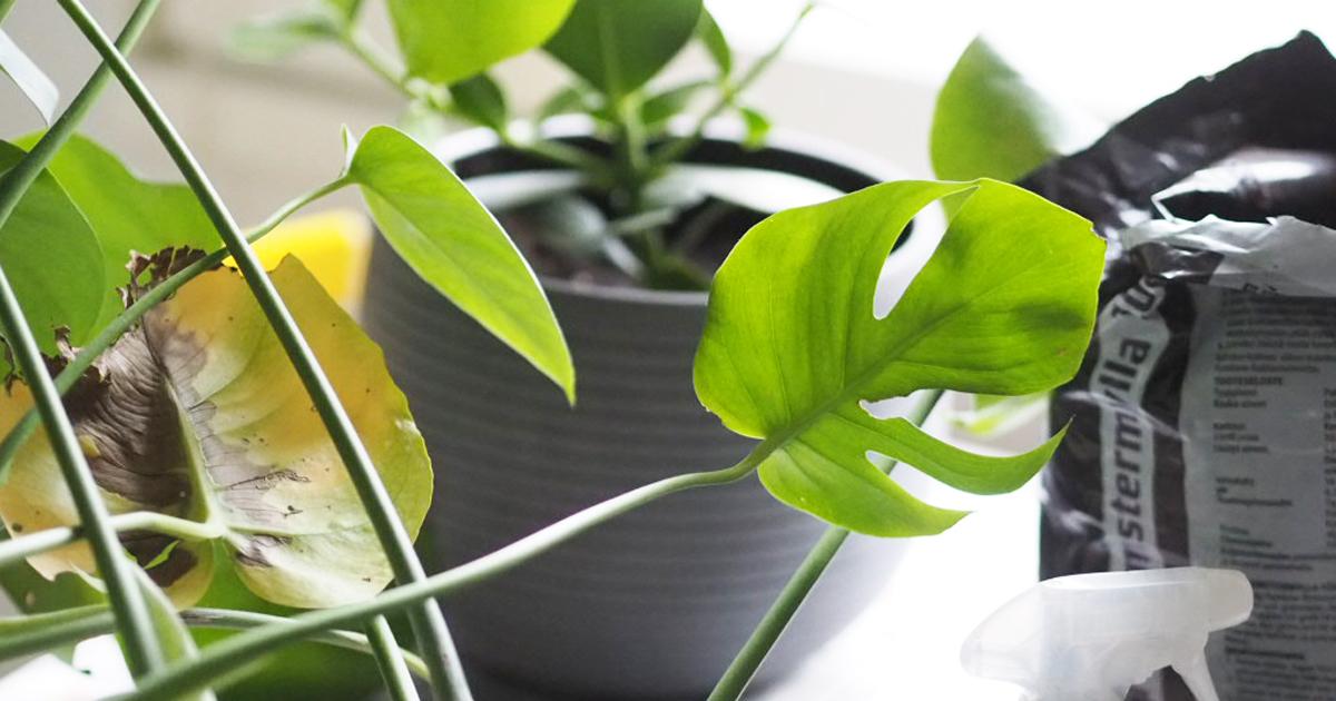 Viherkasvien kevät - Näin vaihdat mullat kodin kasveille